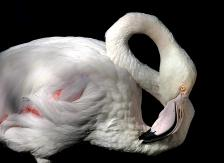 Природа фламинго